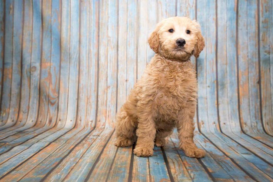 cane incrocio di labrador e barboncino
