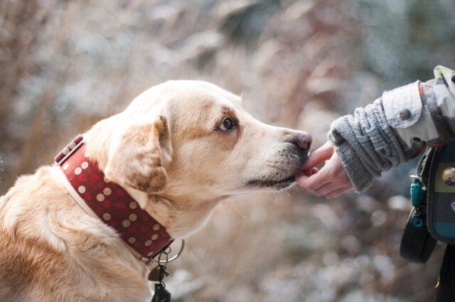 Labrador riceve una carezza