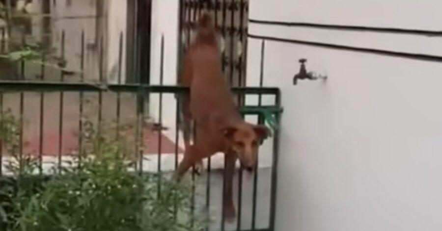 cane infilzato in una grata