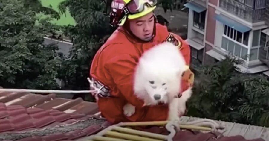 pompiere salva Samoiedo