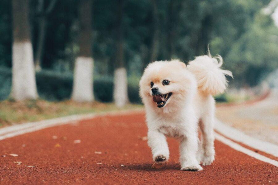 cagnolino bianco che corre