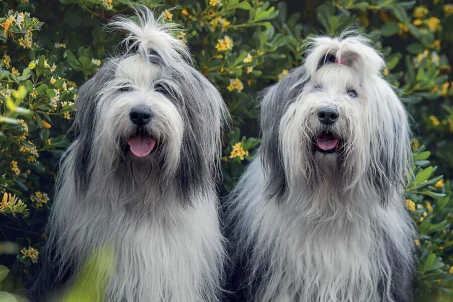cani col pelo lungo sul muso