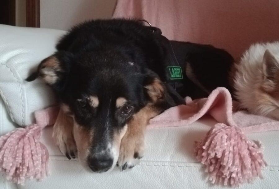 cane larry disteso divano rosa