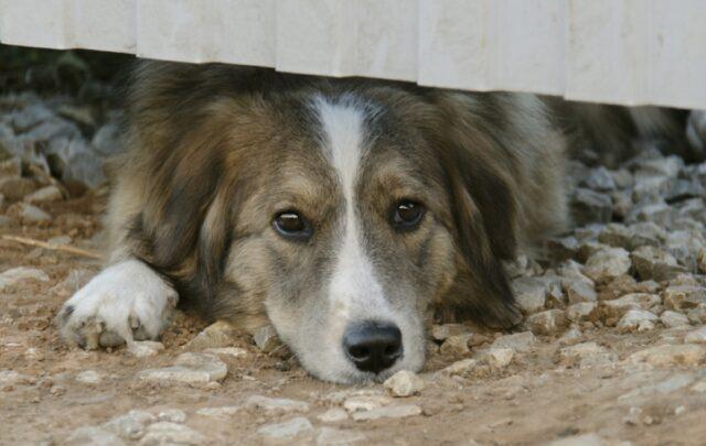 cane anziano si allontana da casa