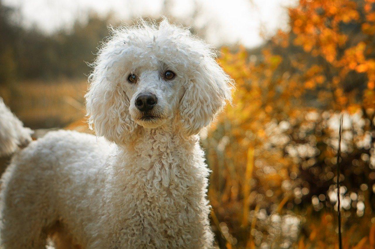 cane pelo bianco