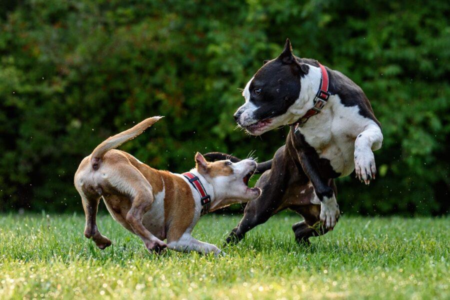 gioco tra cani