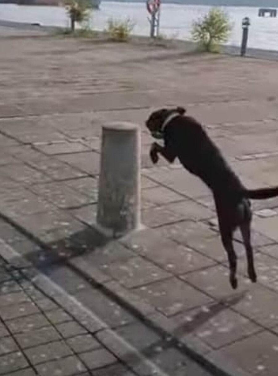cane salta paletti in strada