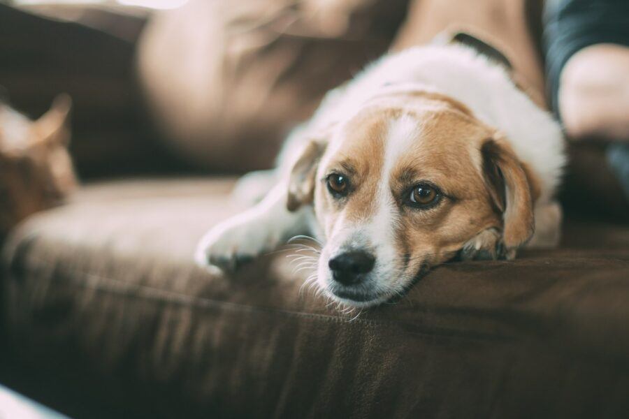 cane con aria guardinga