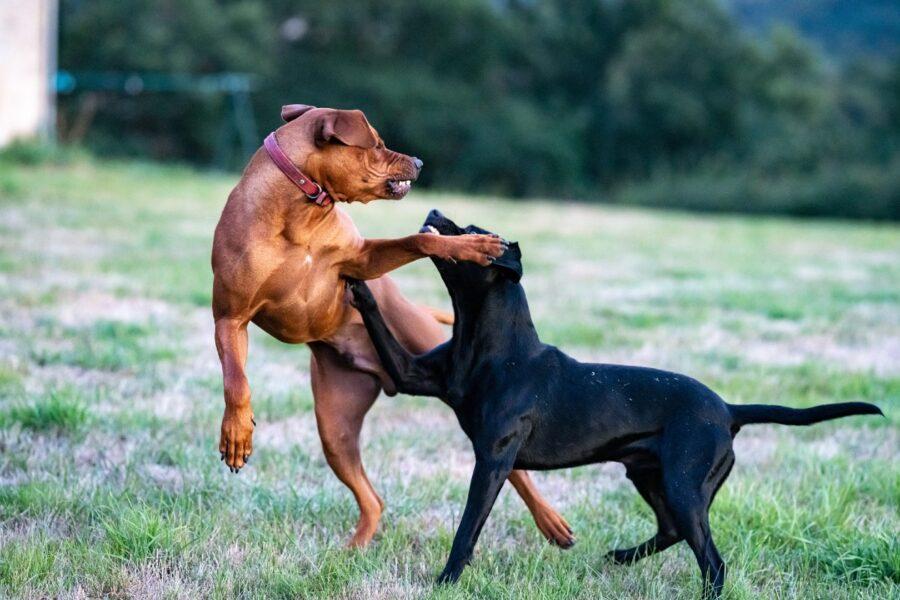 cani e lotta