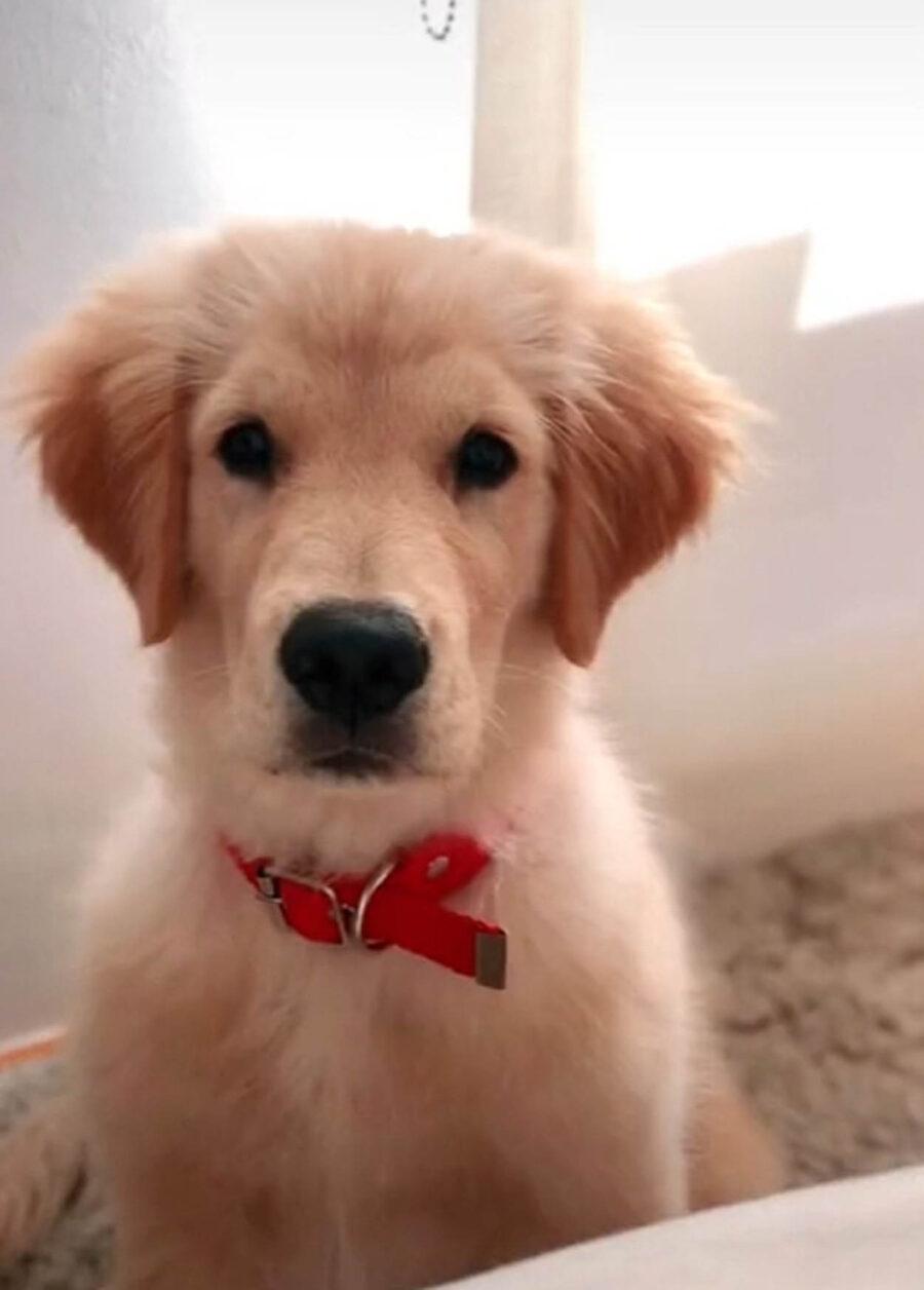 cagnolino color crema