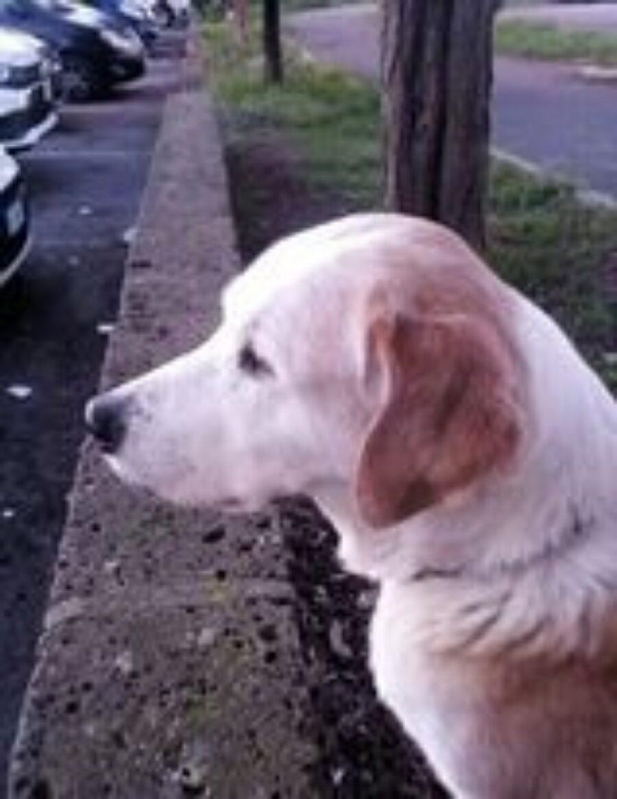 cane color crema seduto in strada
