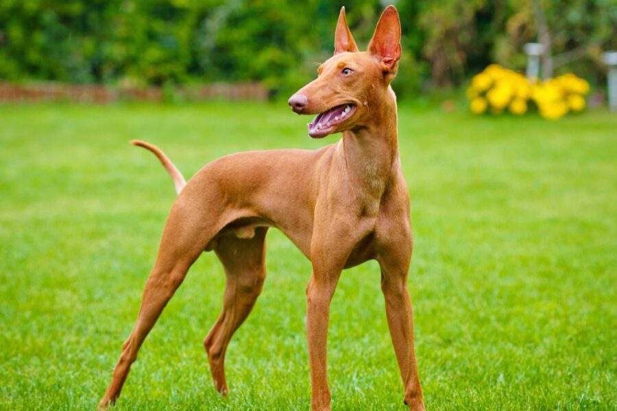 cane atletico
