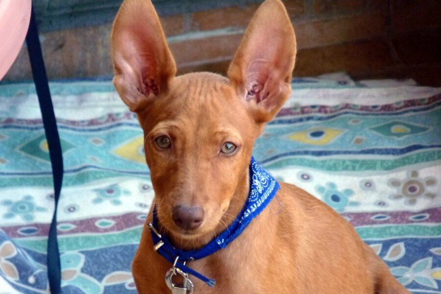 cane con bandana