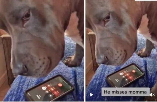 pitbull soffre