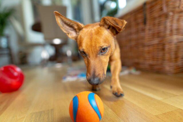 cane rincorre palla