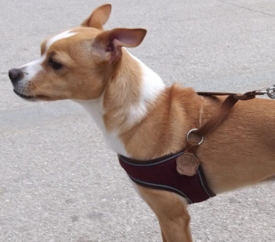 cagnolino rubble senza collare