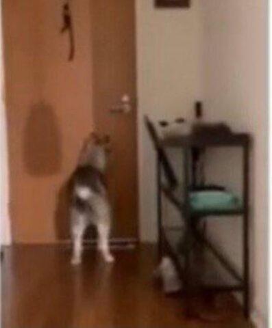 husky bussa alla porta