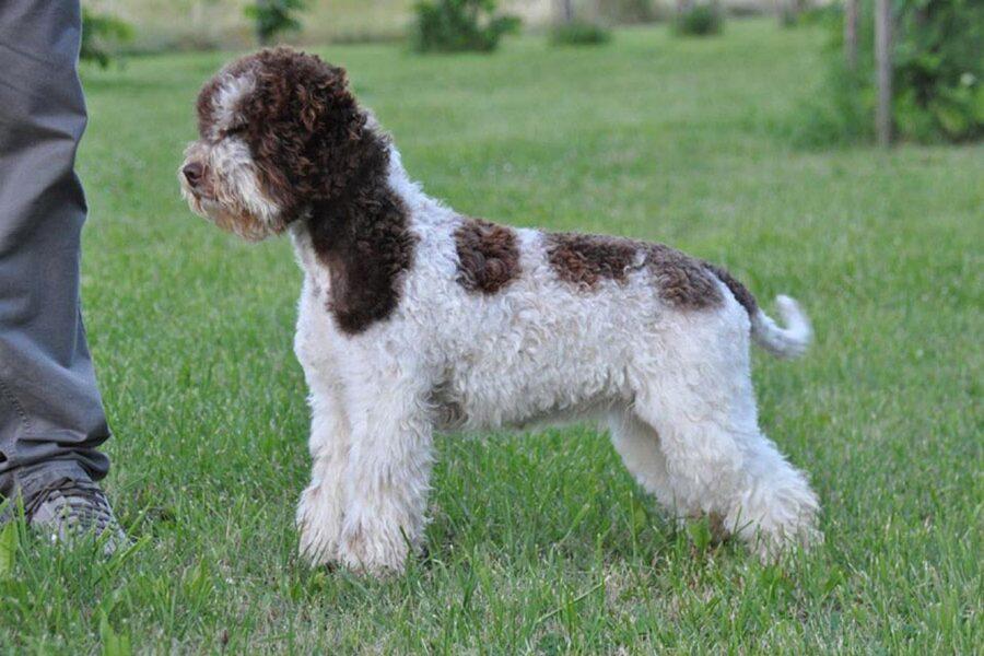 cane con manto bianco e marrone