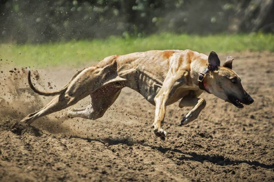 cane che corre veloce