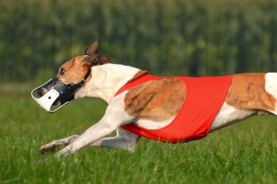 cane velocissimo