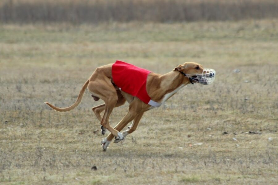 cane corridore
