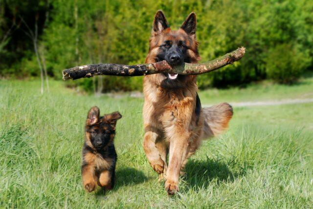 Mamma con bastone corre con cucciolo