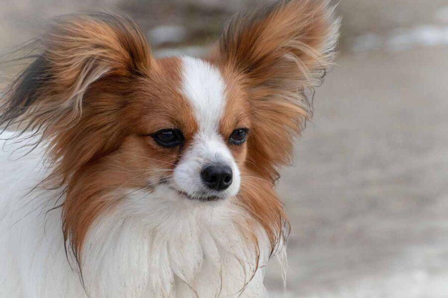 cane con orecchie pelose