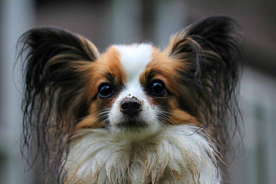 cane papillon riccio