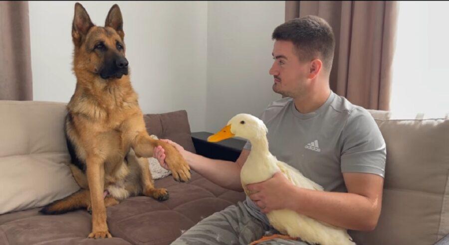 pastore tedesco incontra un'anatra per la prima volta