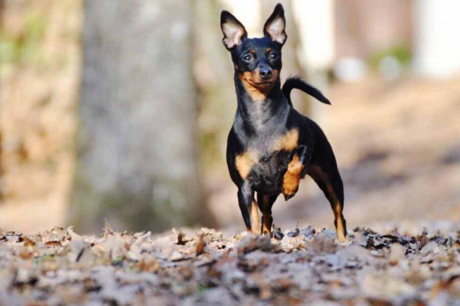 cane con zampa anteriore alzata