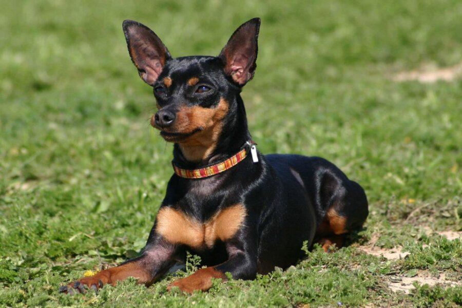 cane di piccola taglia