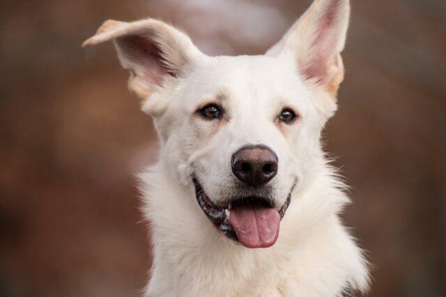 cane bianco primo piano