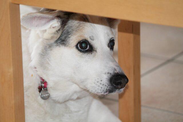 cagnolino sotto un tavolo