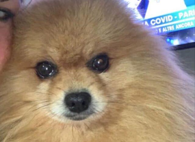 cane spitz tedesco lillo