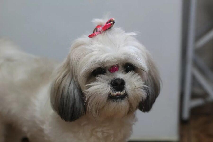 cane con fiocchetto