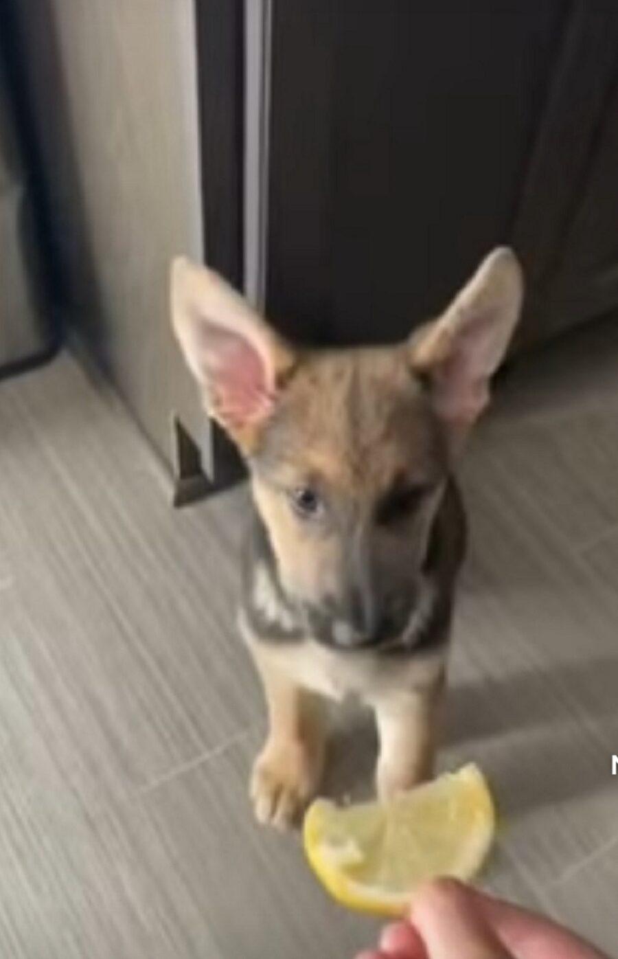 video di un simpatico cagnolino che assaggia un limone