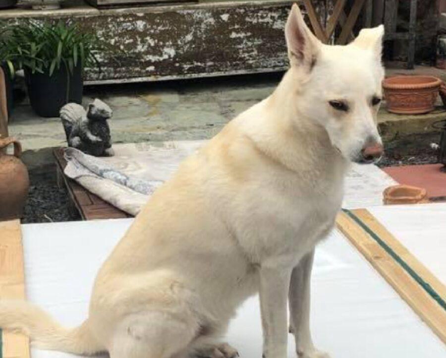 cane gigi seduto grosse dimensioni