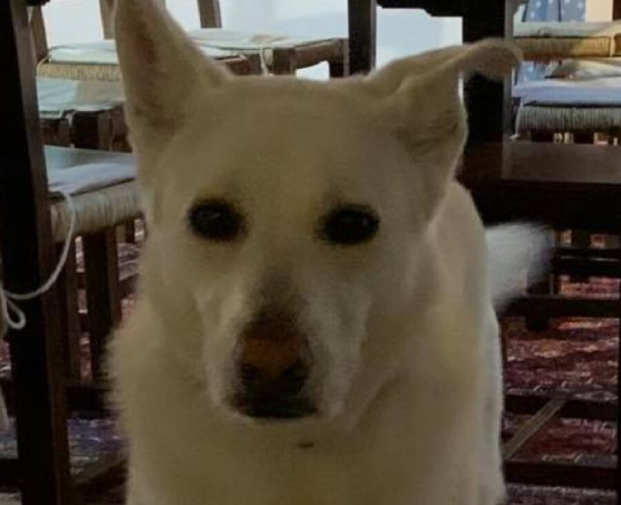 cane gigi orecchio sinistro basso